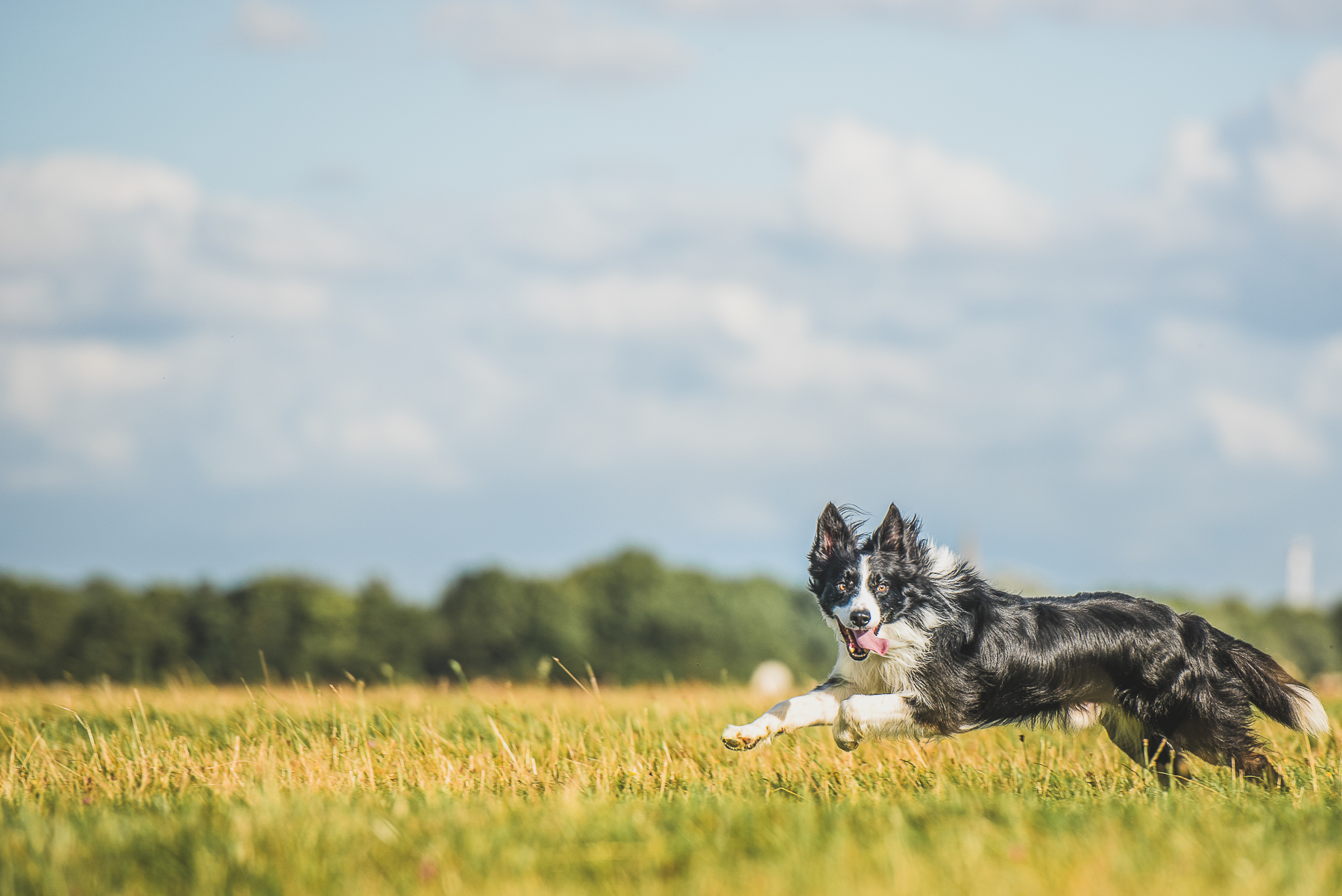 Border collie running through grass field