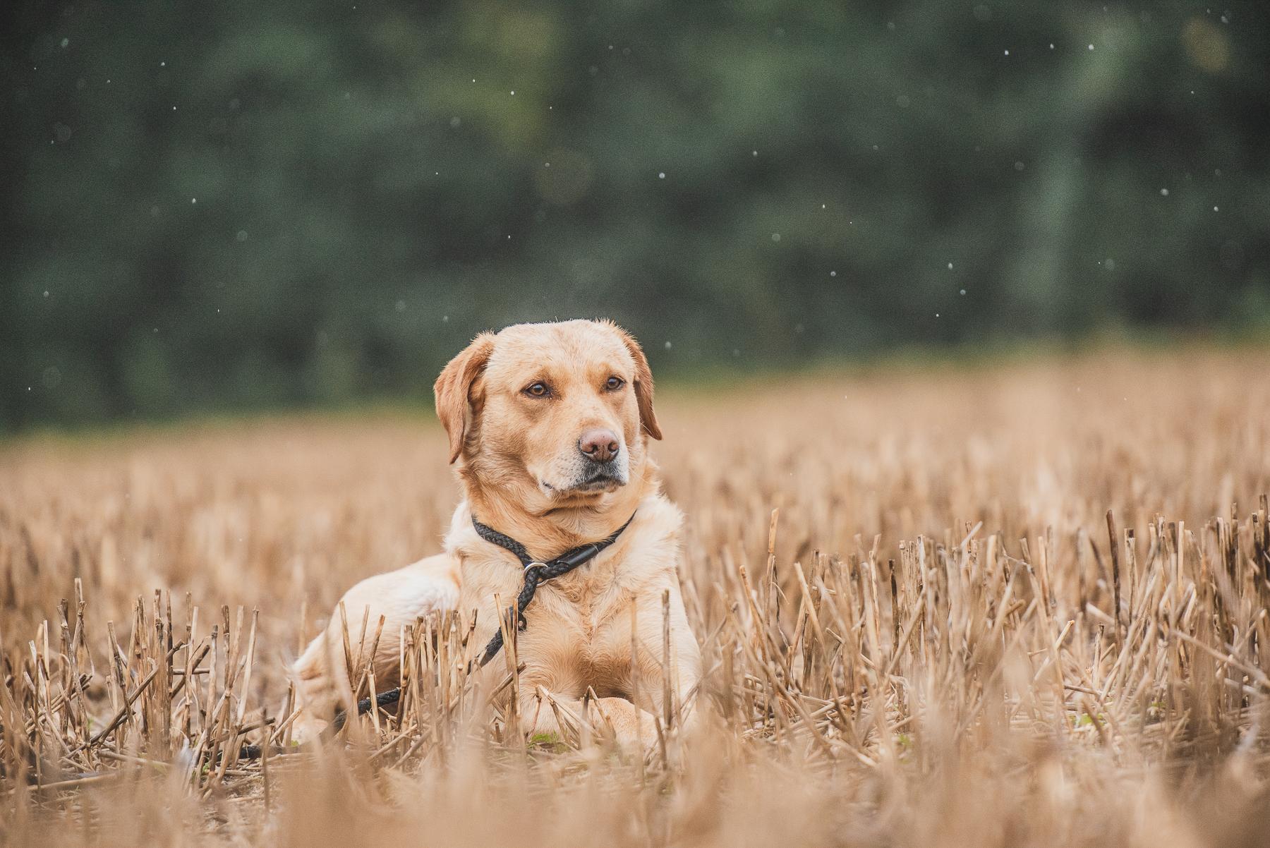 Gun dog lying down in wheat field