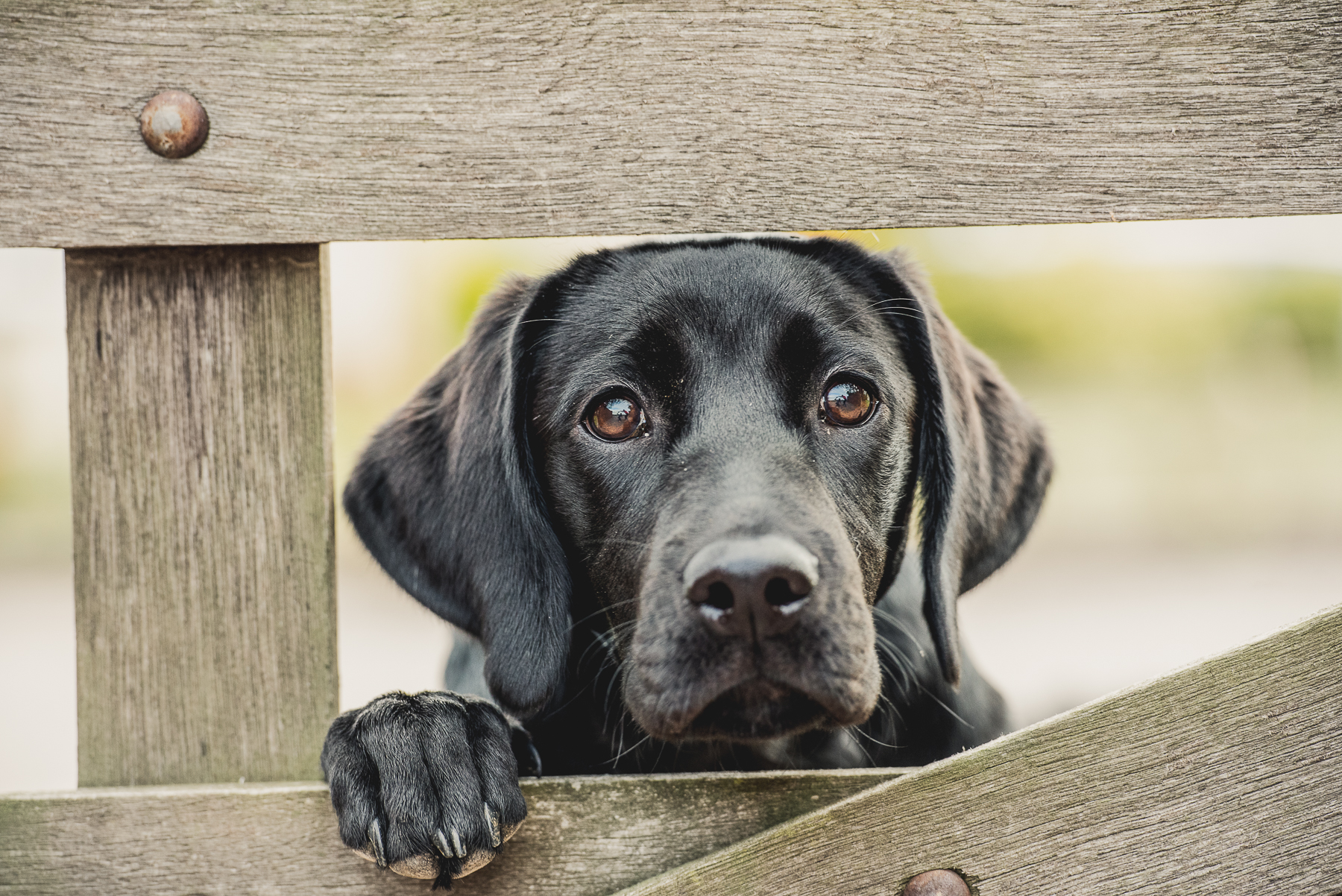 Black labrador dog looking through fencing at camera