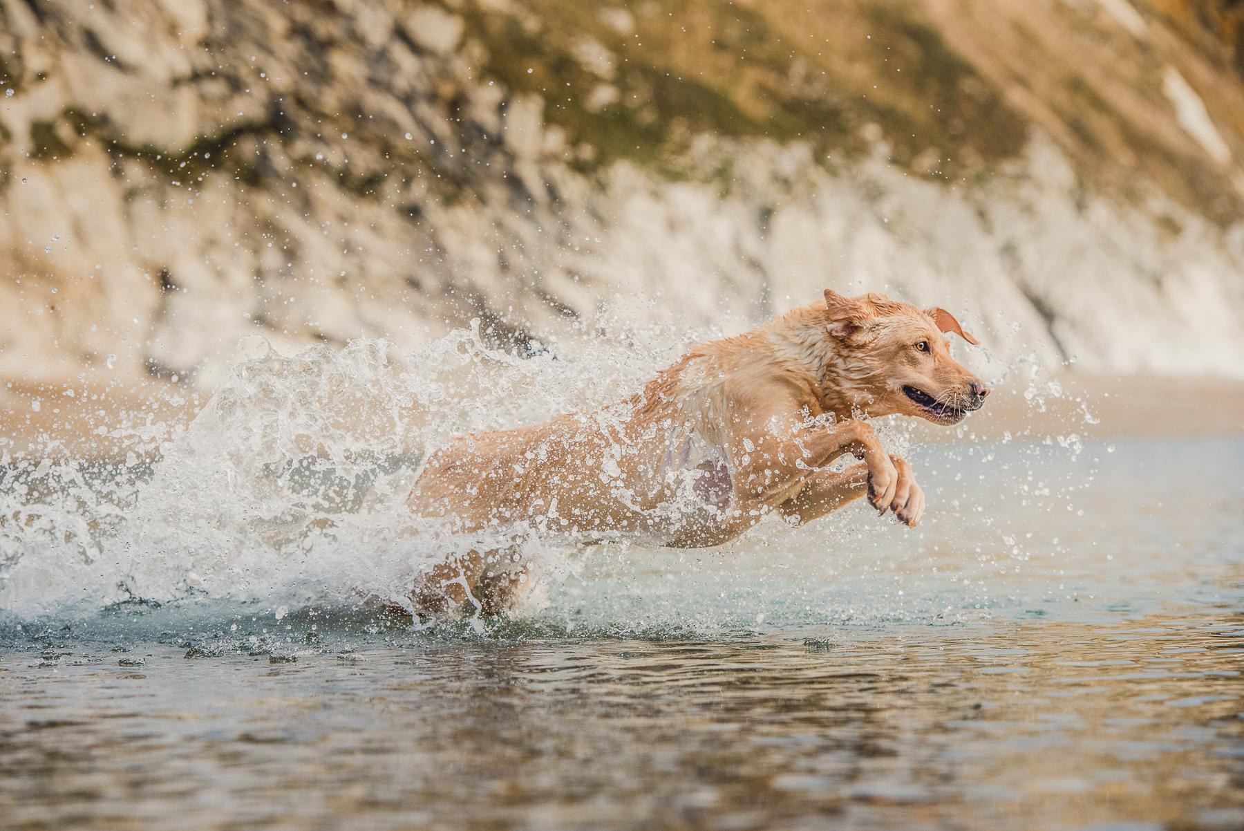 Yellow Labrador jumping through the sea after a ball