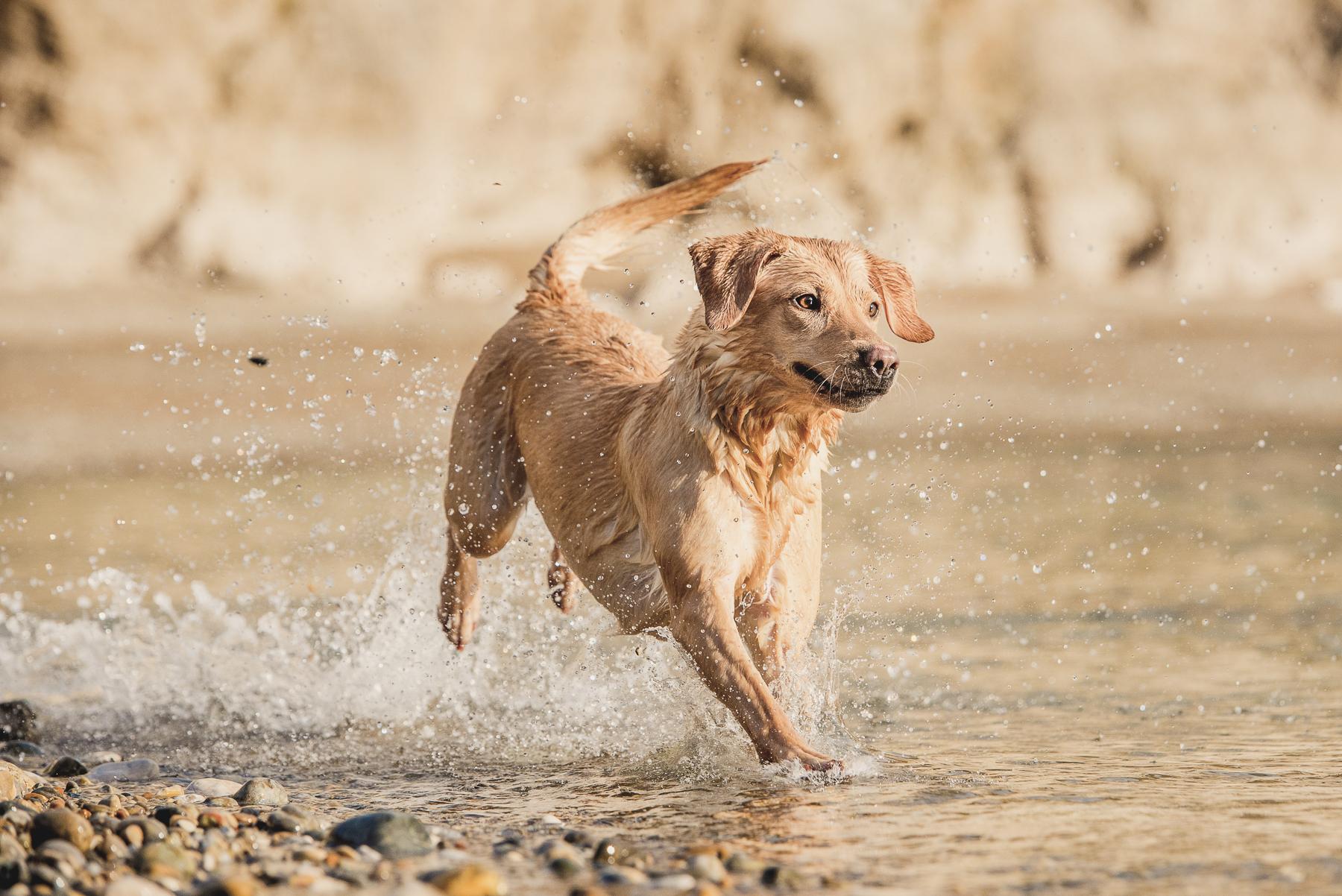 Dog jumping through the sea on a pebble beach
