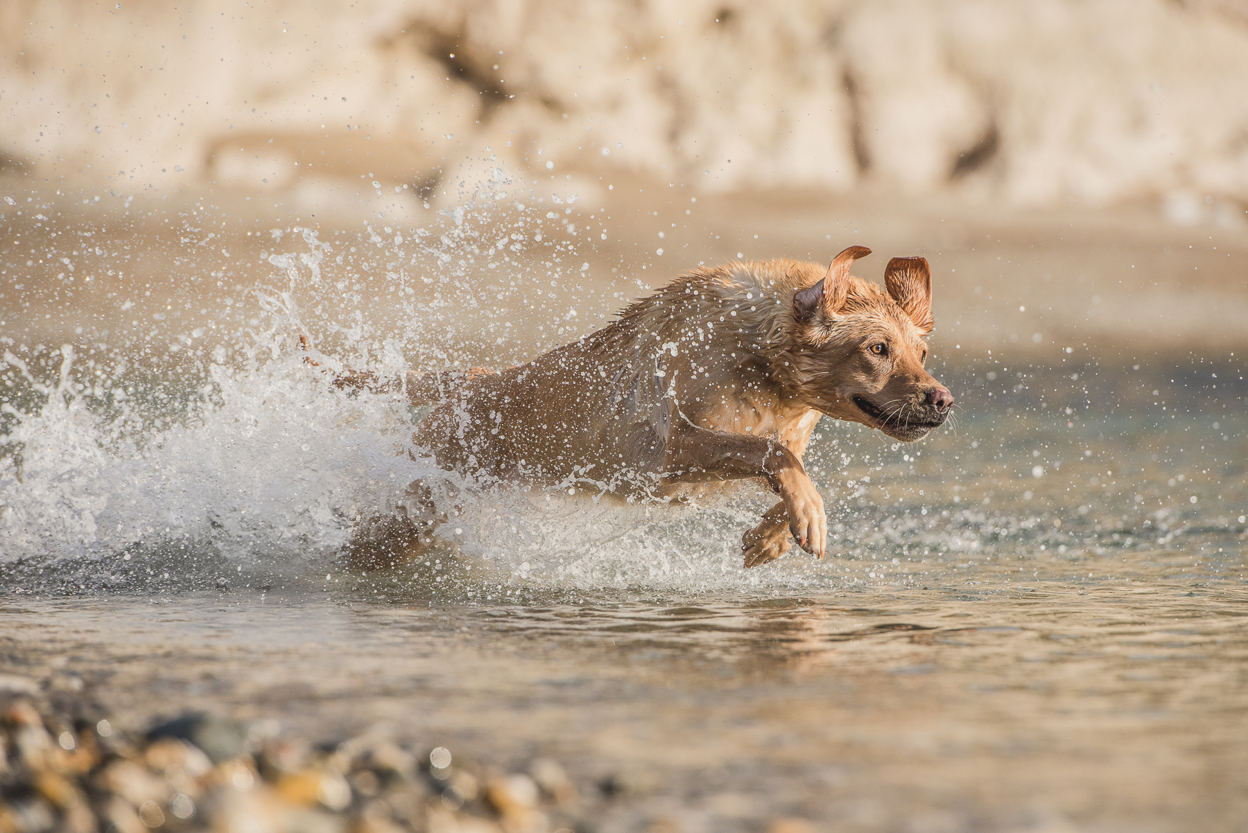 Dog running through the waves