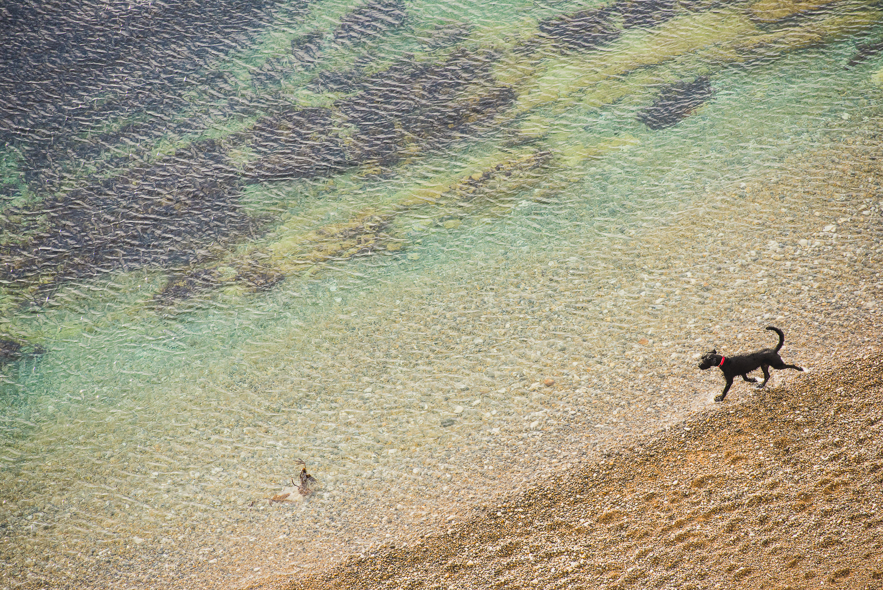 Dog walking through the shallows
