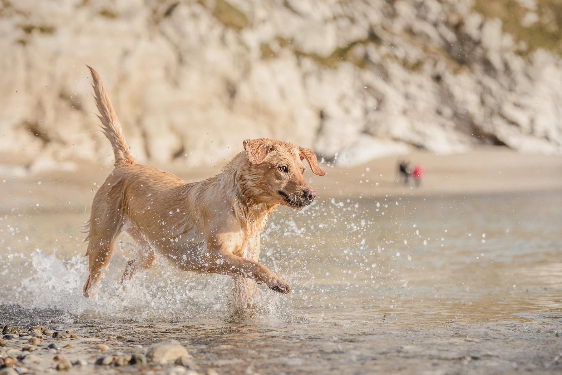 Yellow labrador charging into the sea