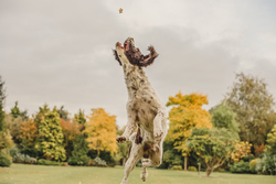 Spaniel jumping in the air for a treat
