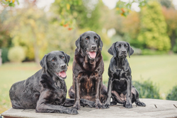 Three black labrador dogs looking at the camera