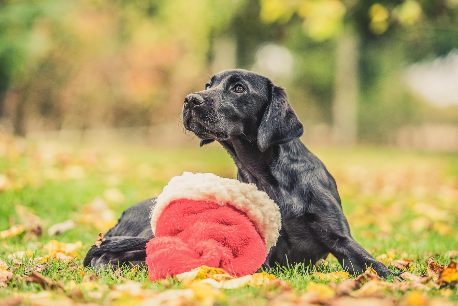 Black labrador puppy with santa hat