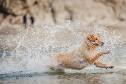 Labrador splashing in the sea