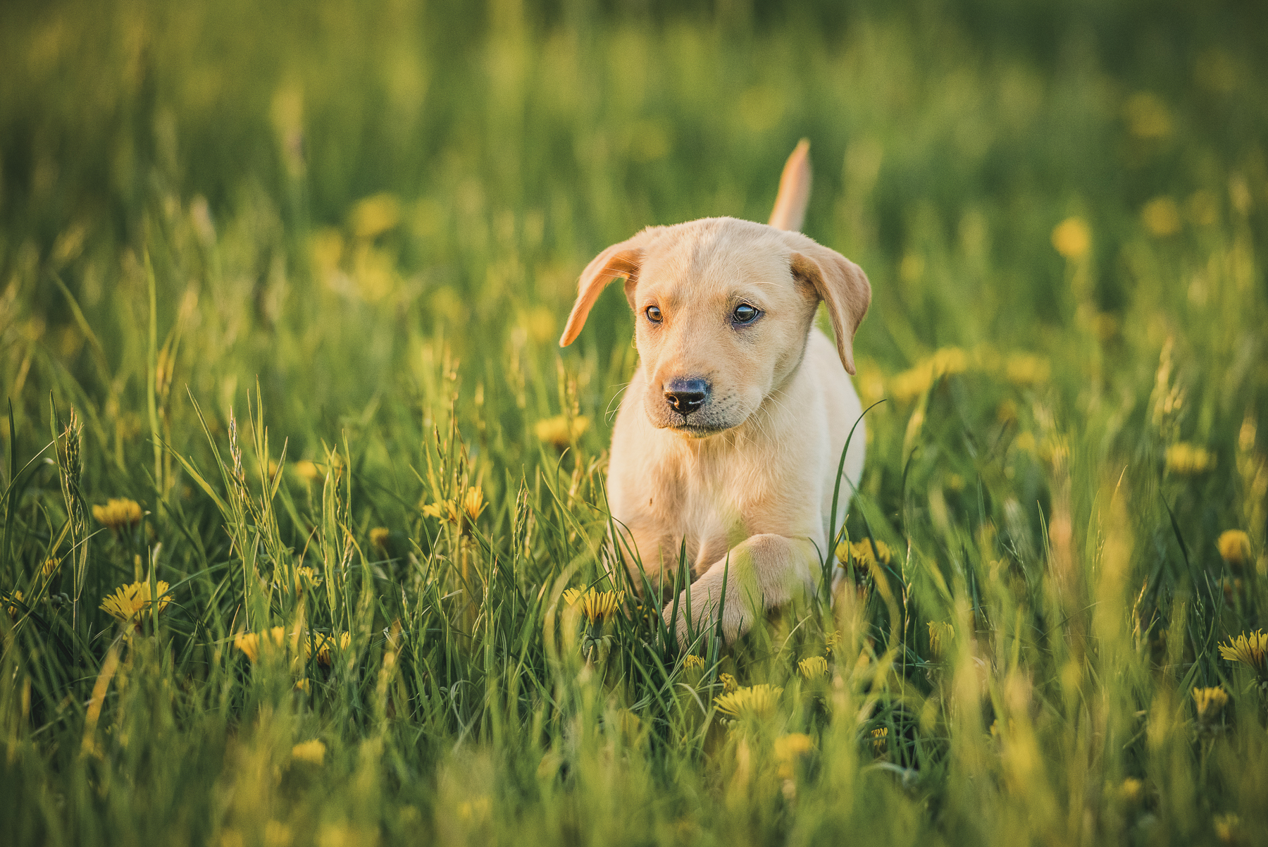 Yellow labrador puppy in a field