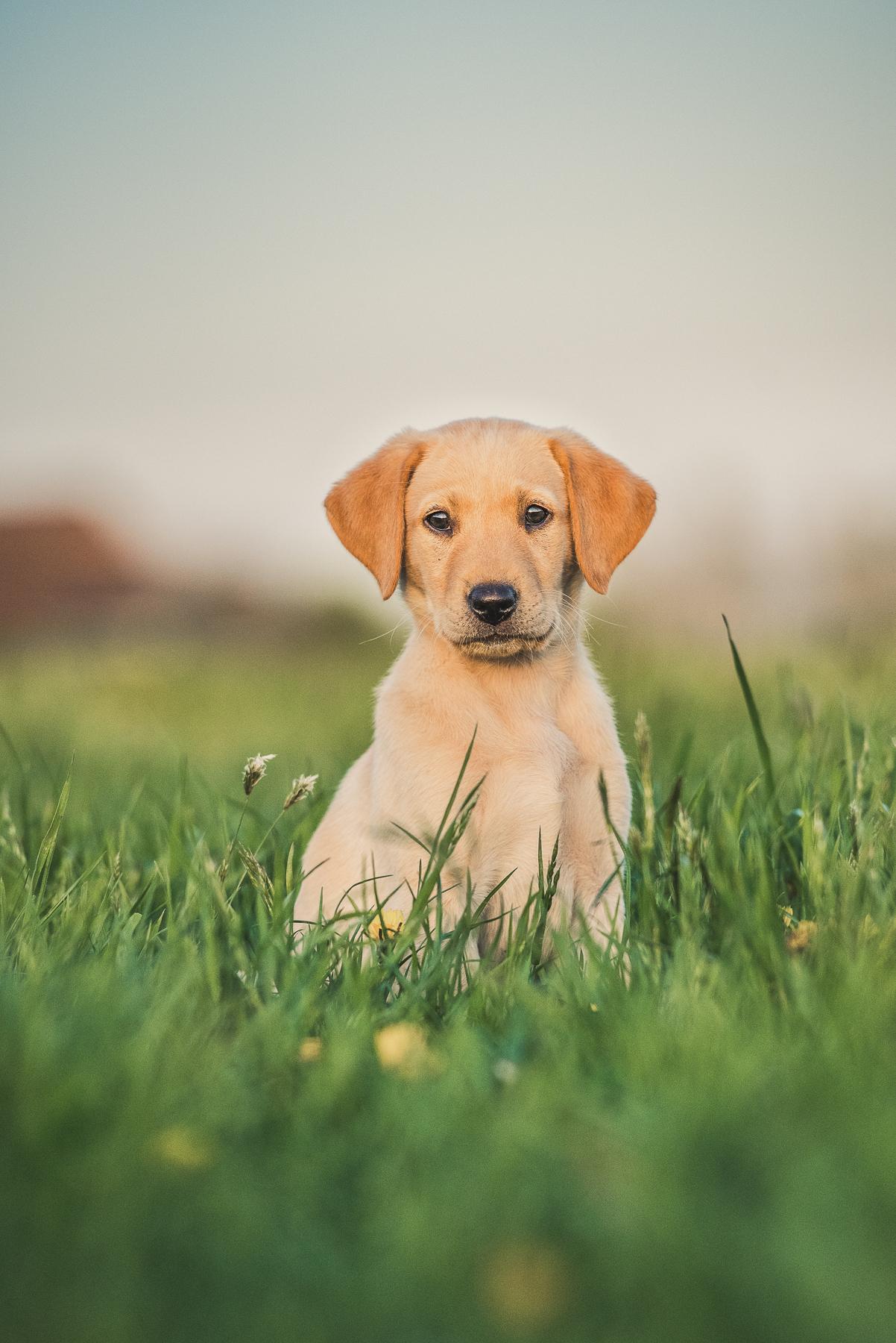 Labrador puppy sitting in the grass