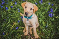 Labrador puppy sitting in bluebells