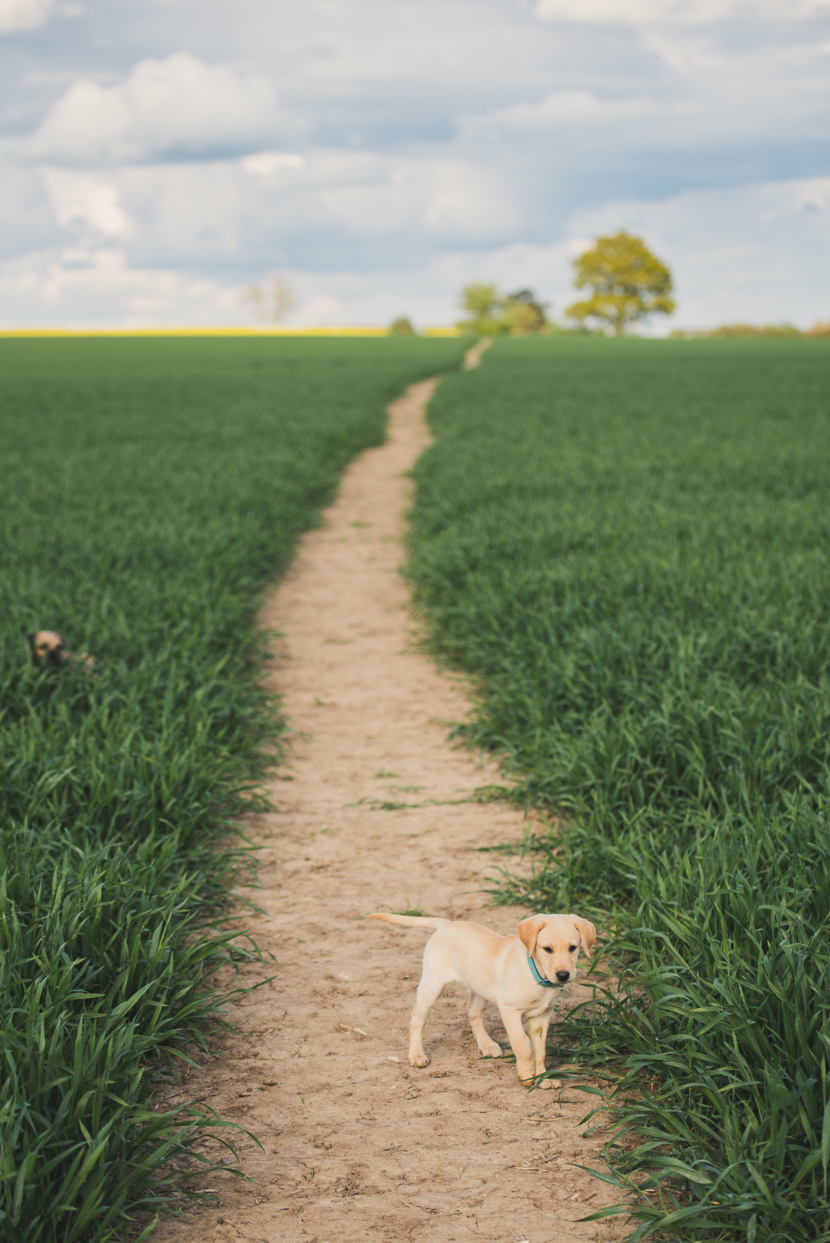 Puppy walking on a field path