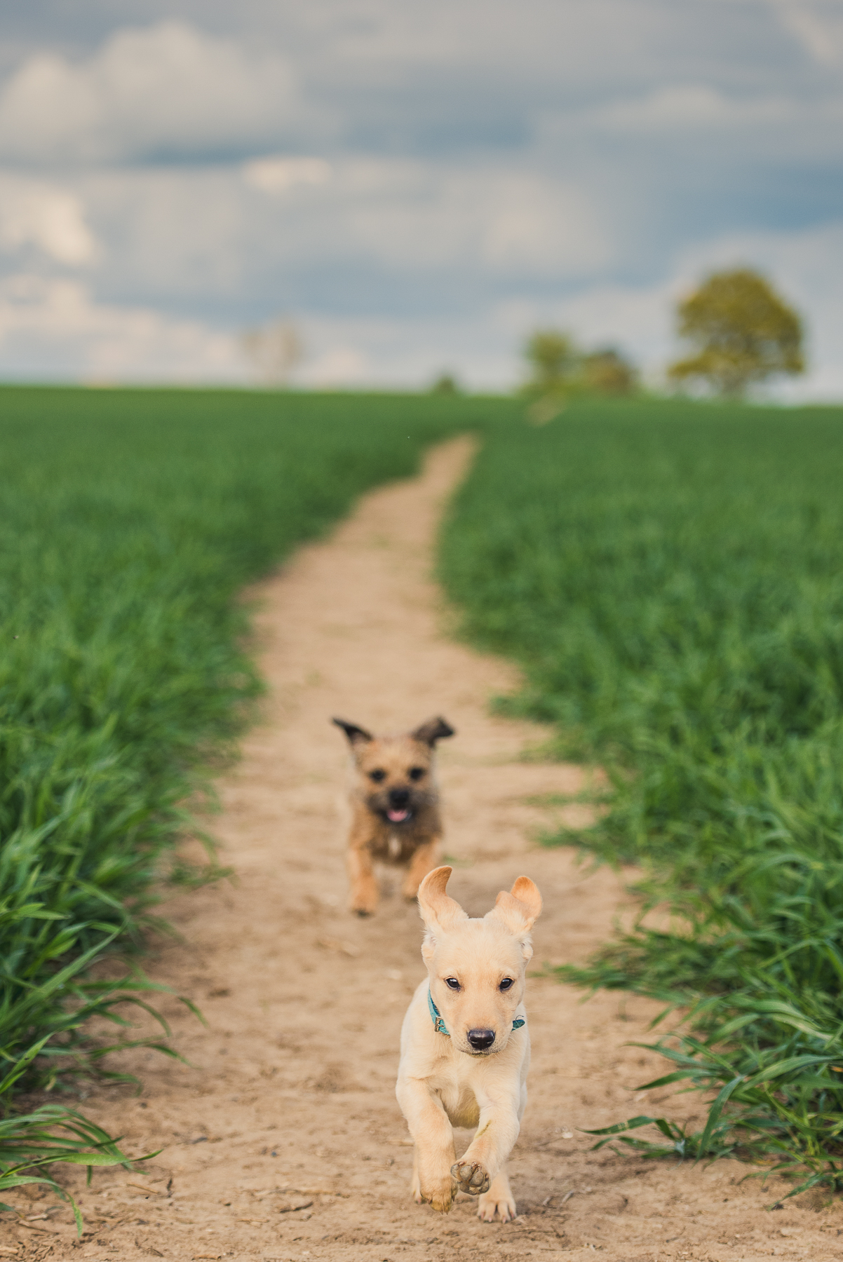 A terrier chasing a labrador puppy