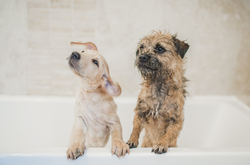 Labrador puppy and a border terrier standing on the edge of the bath