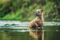 Terrier standing in a river