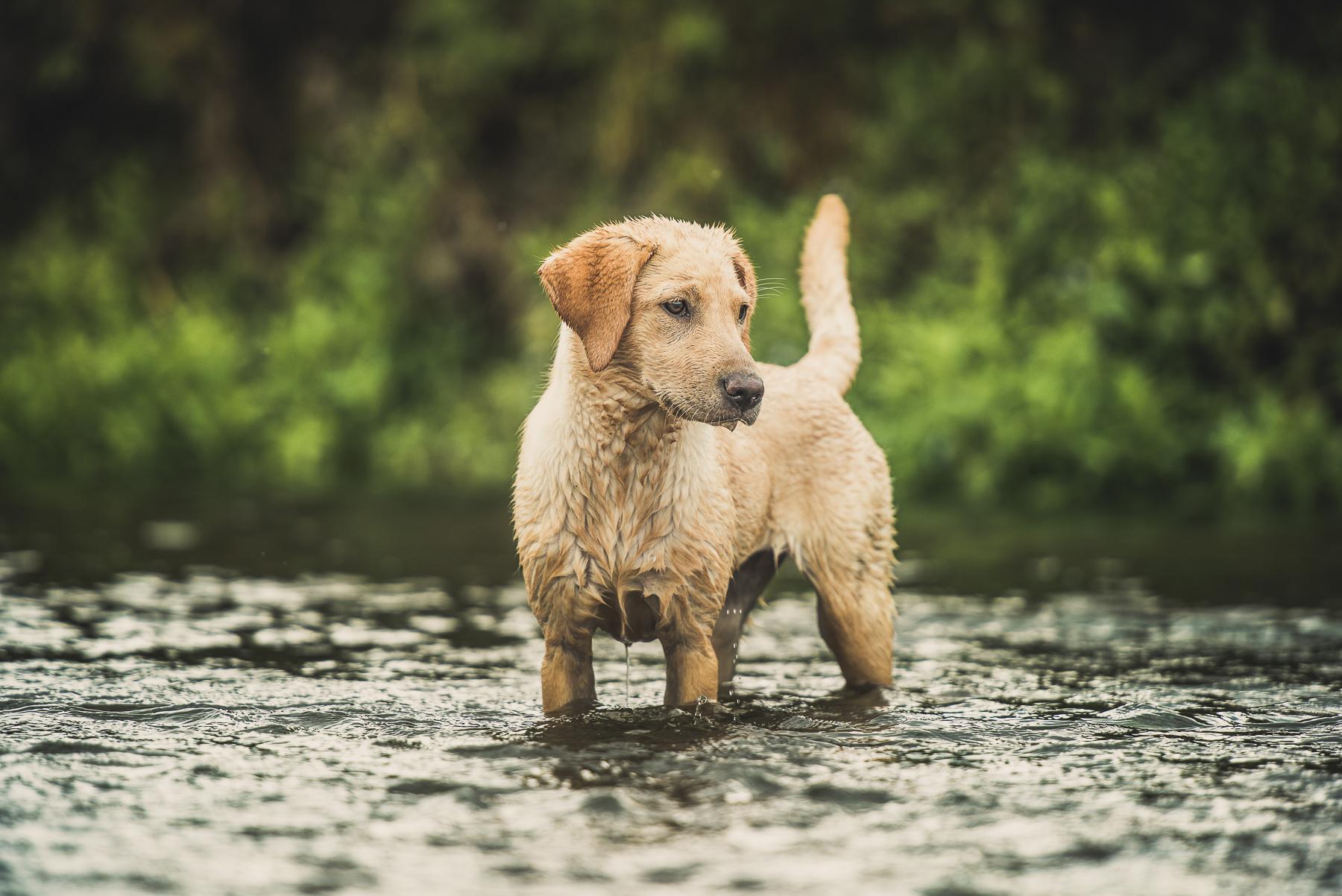 Golden labrador standing in a river
