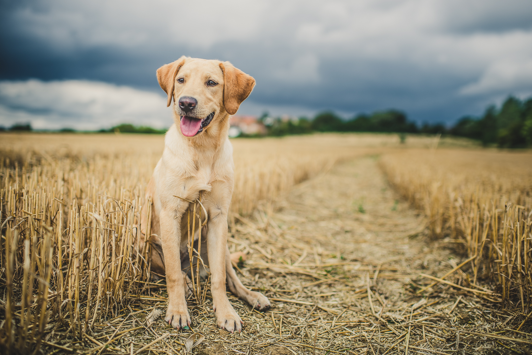 Dog sitting in old wheat field