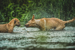 Dogs in a river with one shaking off the water