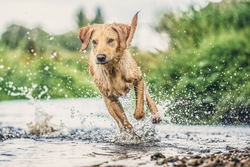 Dog running on the edge of a river