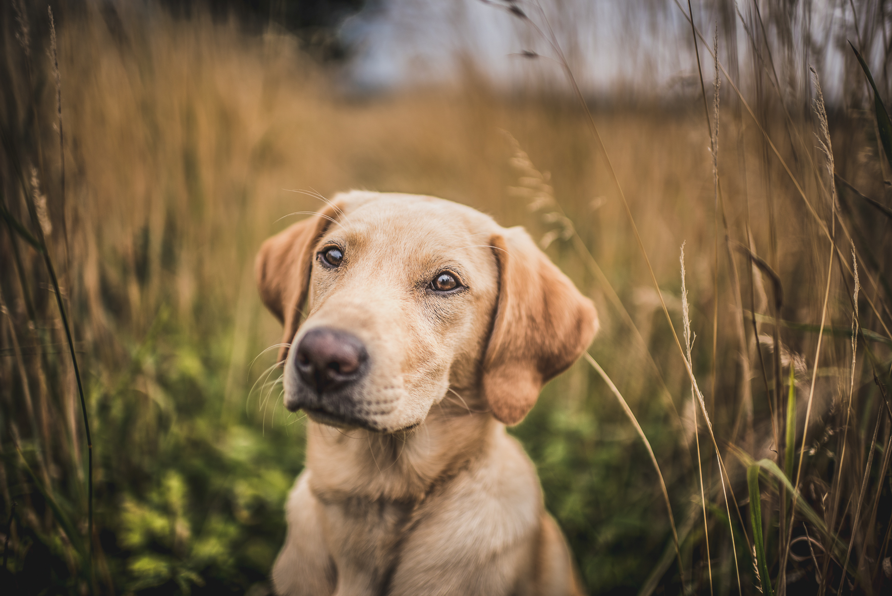 Labrador looking into camera