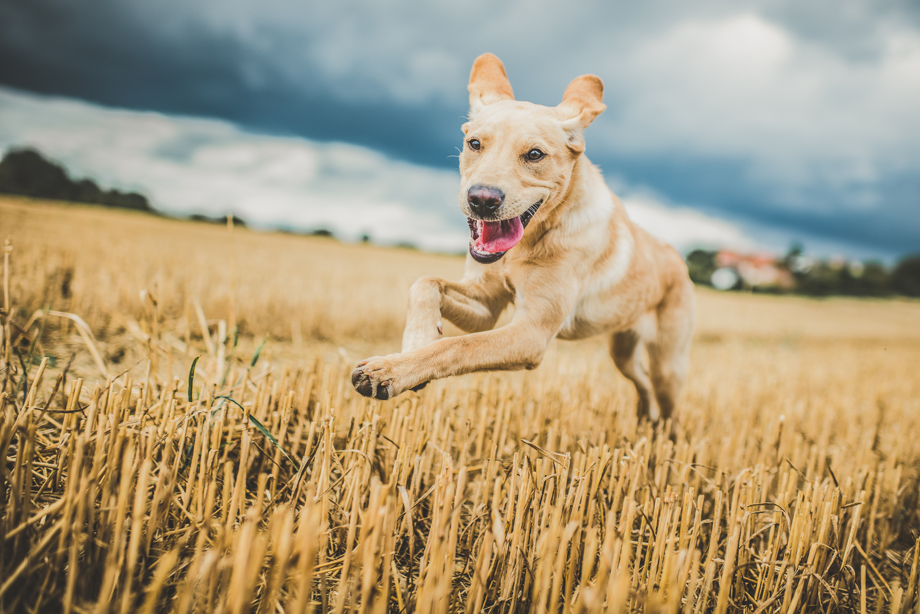 Golden labrador running through a field