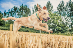 Side view of a labrador running through a field