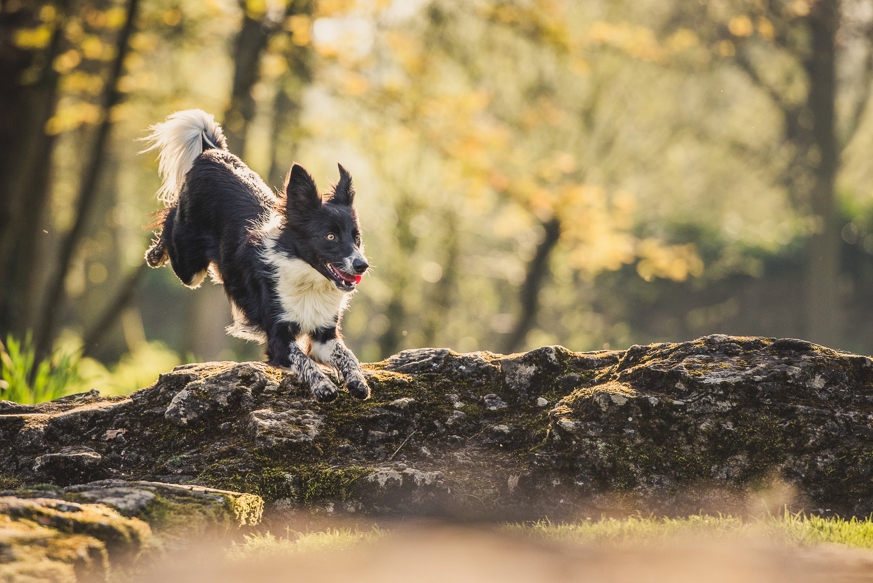 Border Collie leaping over wall