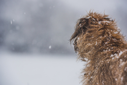 Back view of terrier in the snow