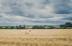 Dog running through old wheat feild
