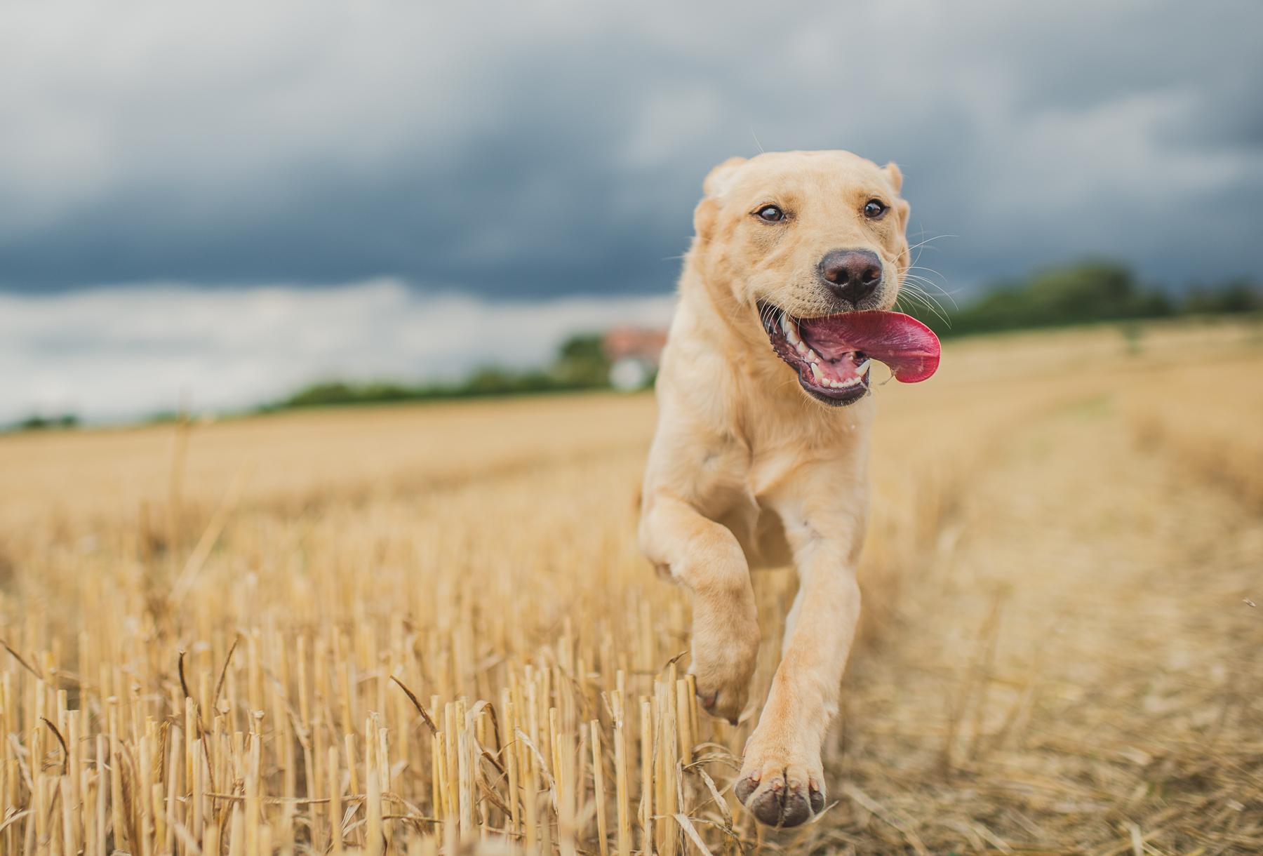 Dog running towards the camera in field
