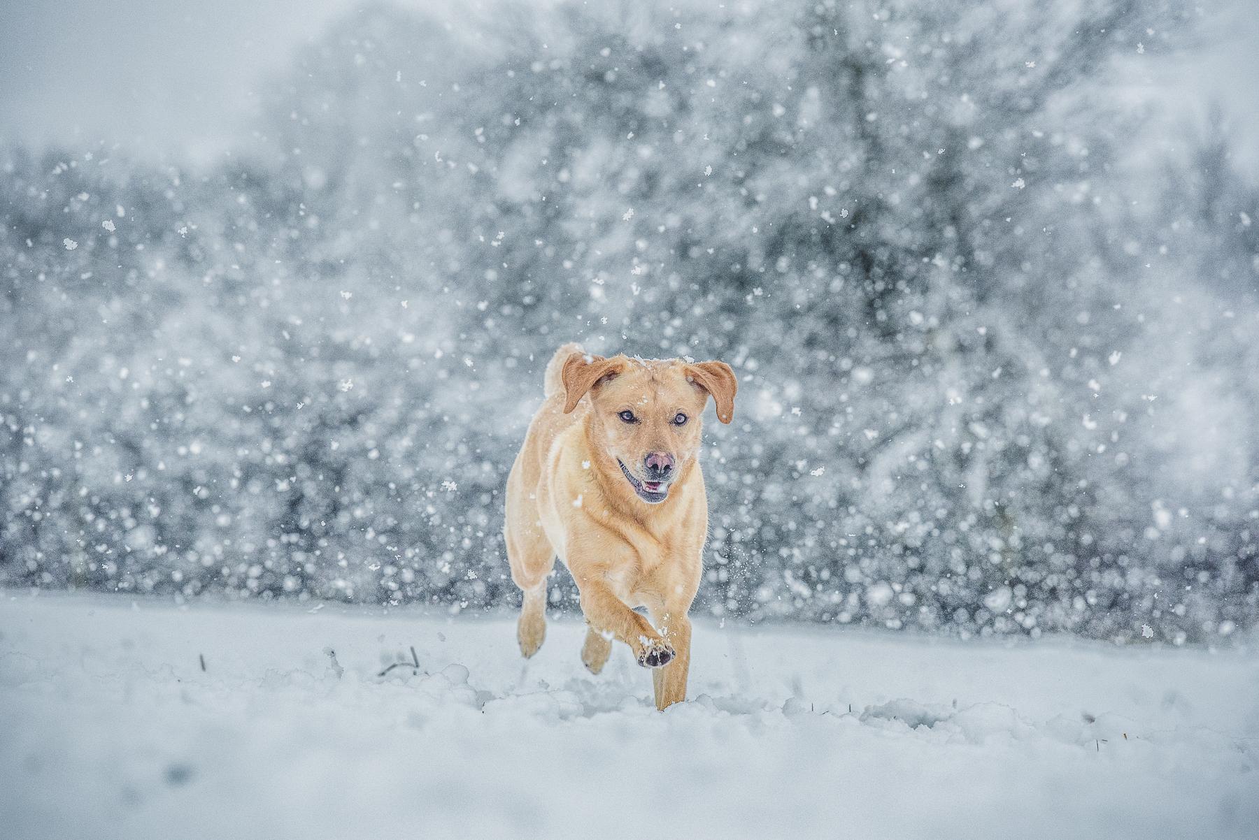 Labrador running through the snow