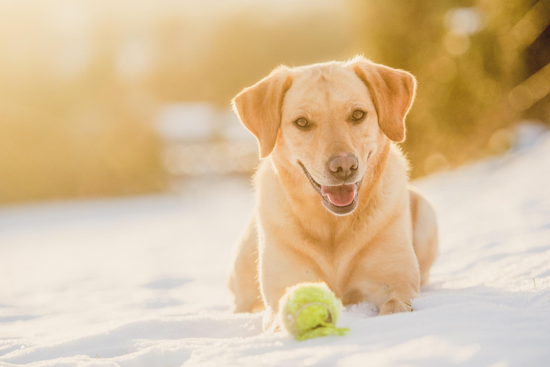 Sunlit labrador lying in the snow
