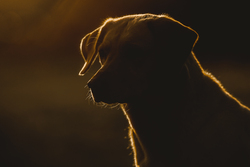 Sunlit labrador