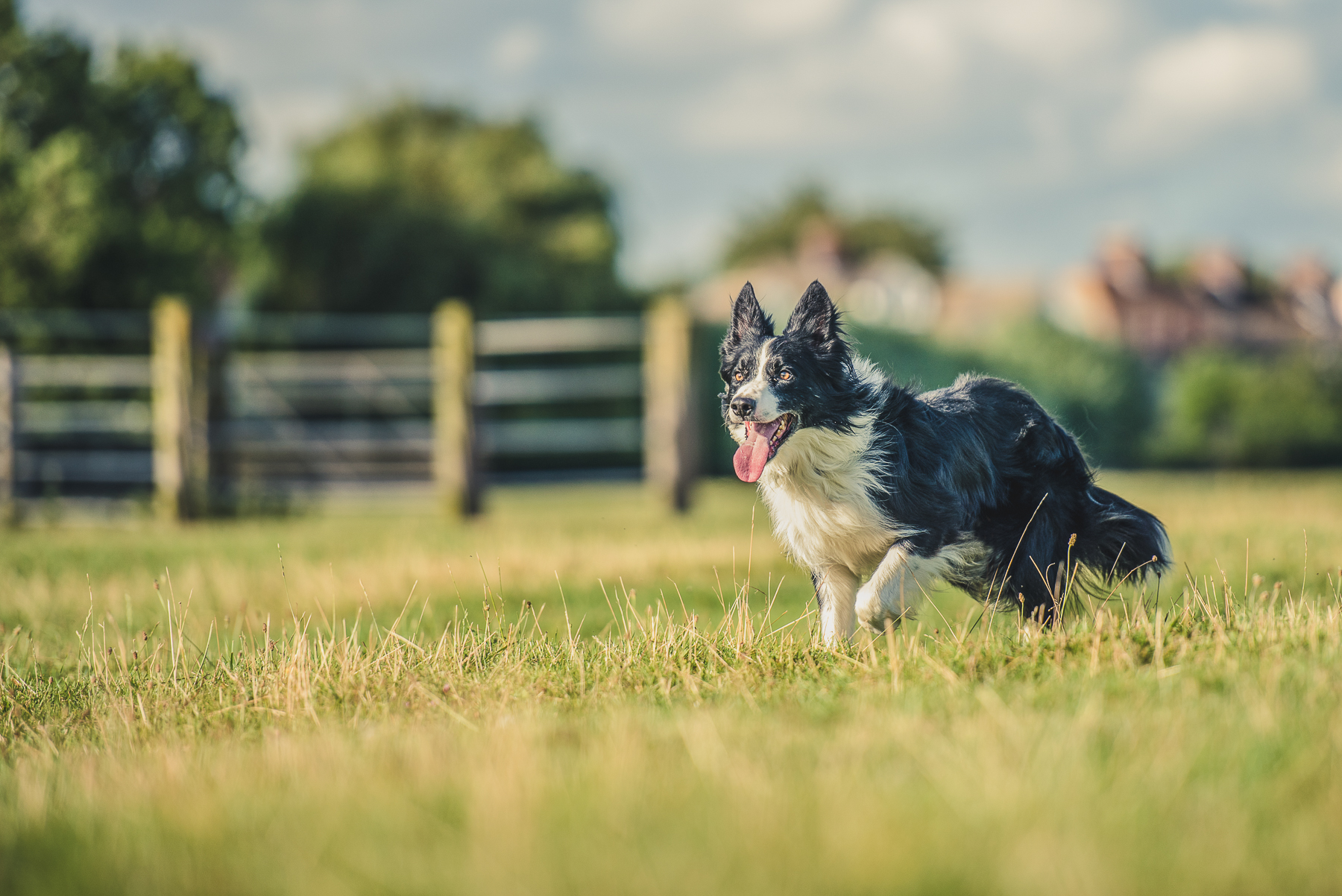 Border collie standing infront of fencing
