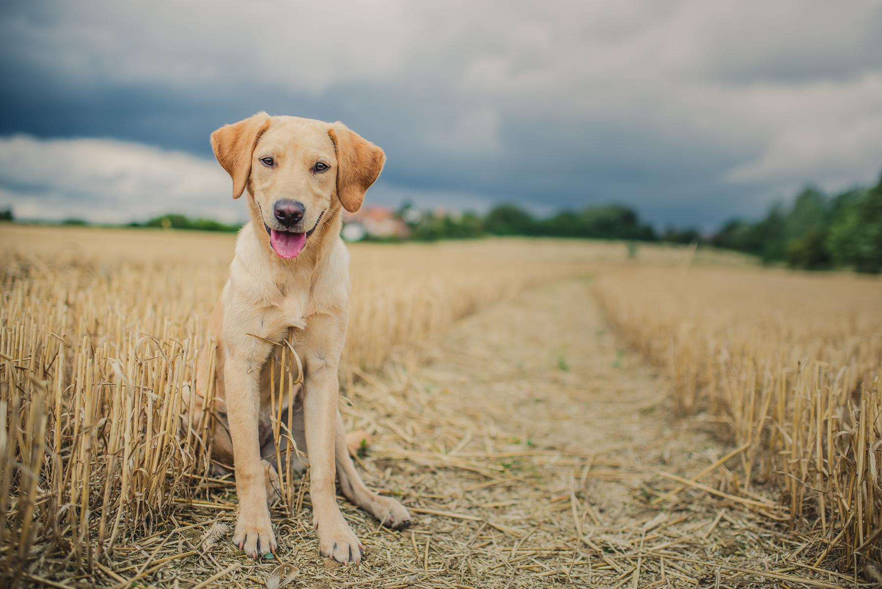 Labrador panting at the camera
