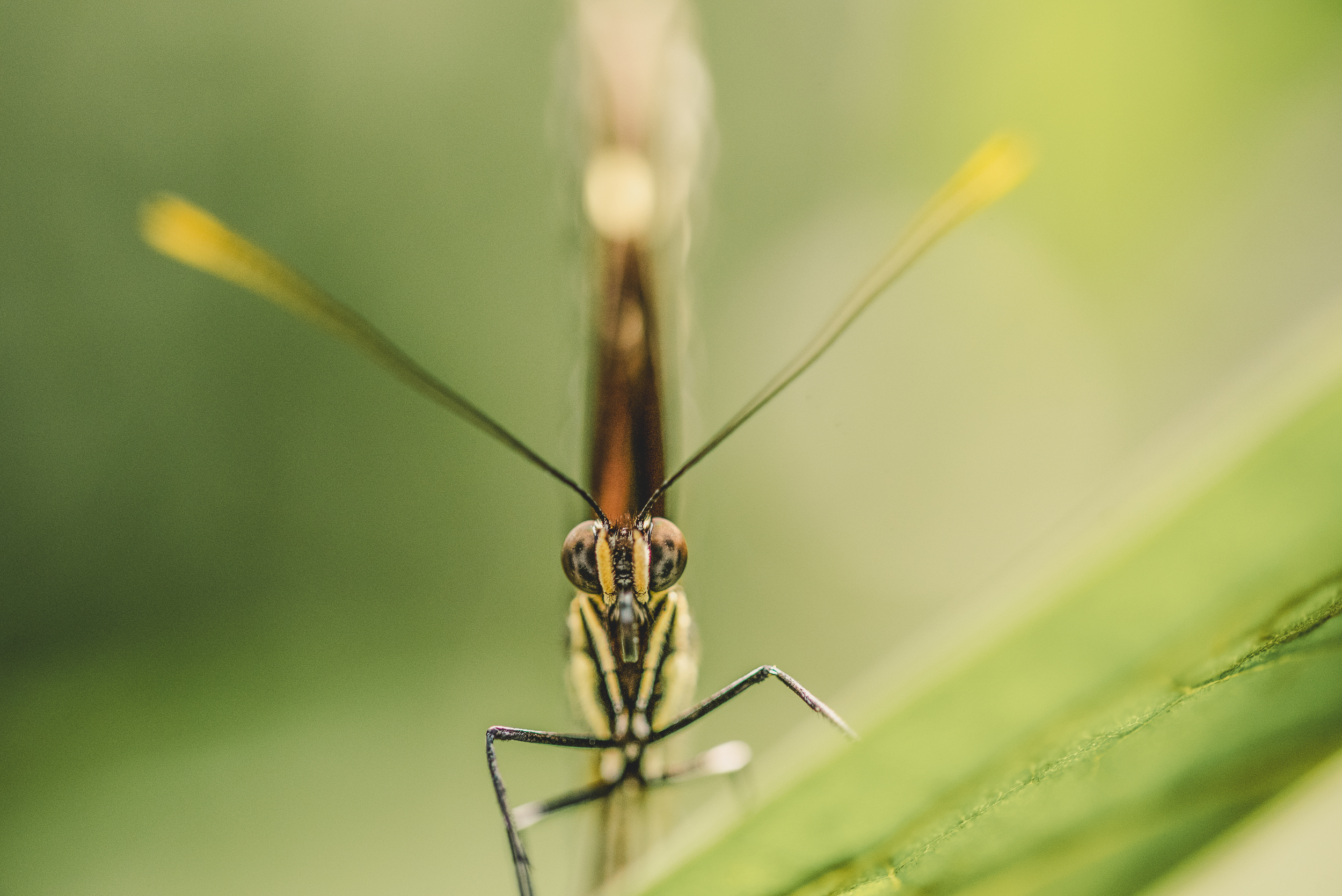 Straight on view of a butterfly in costa rica