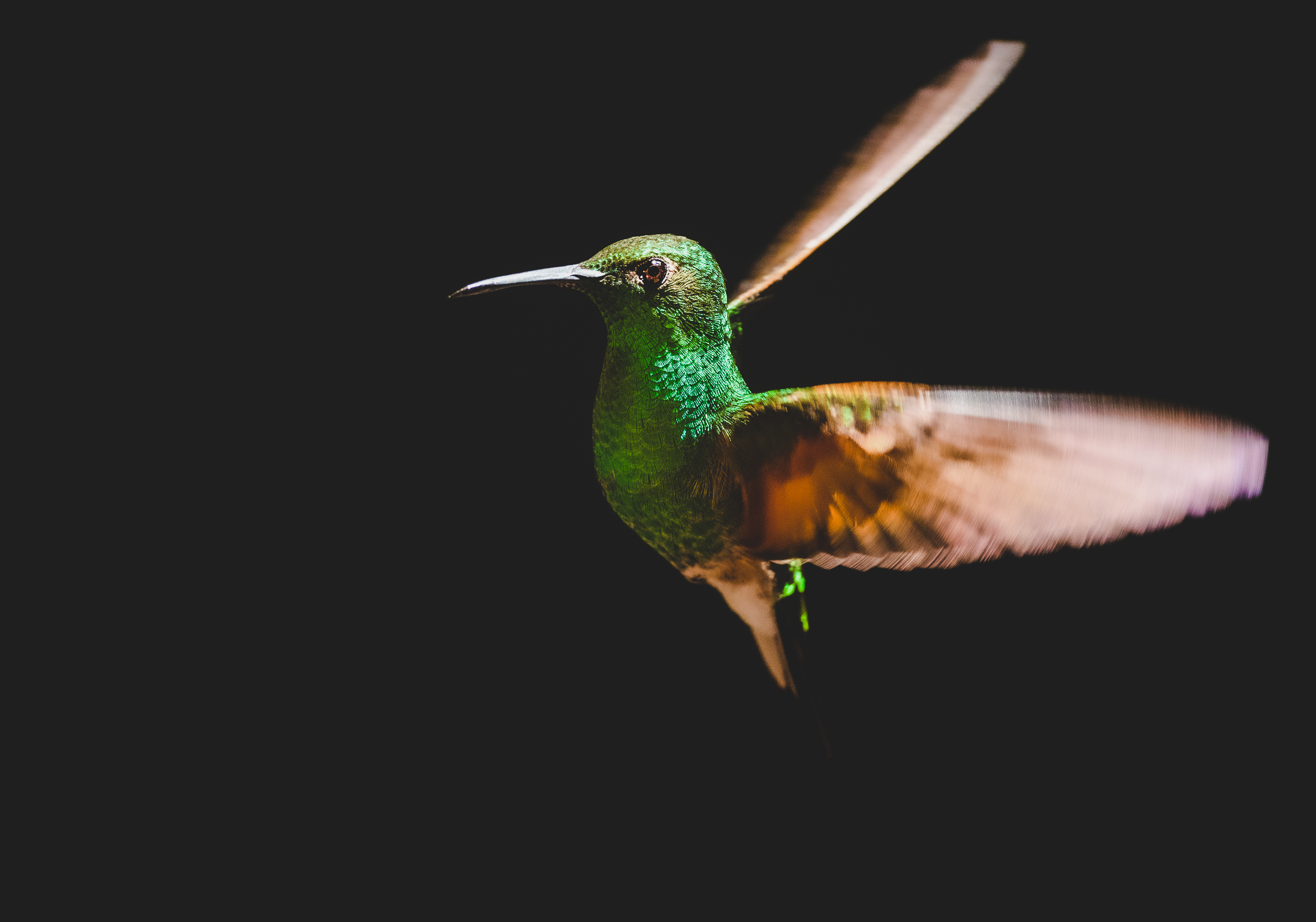 Green Hummingbird flying