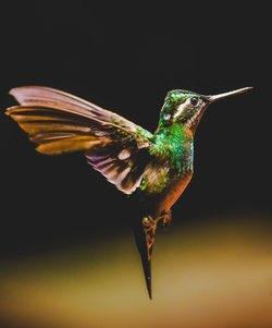 Flying hummingbird as seen from the side