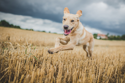 Dog running through a harvested field