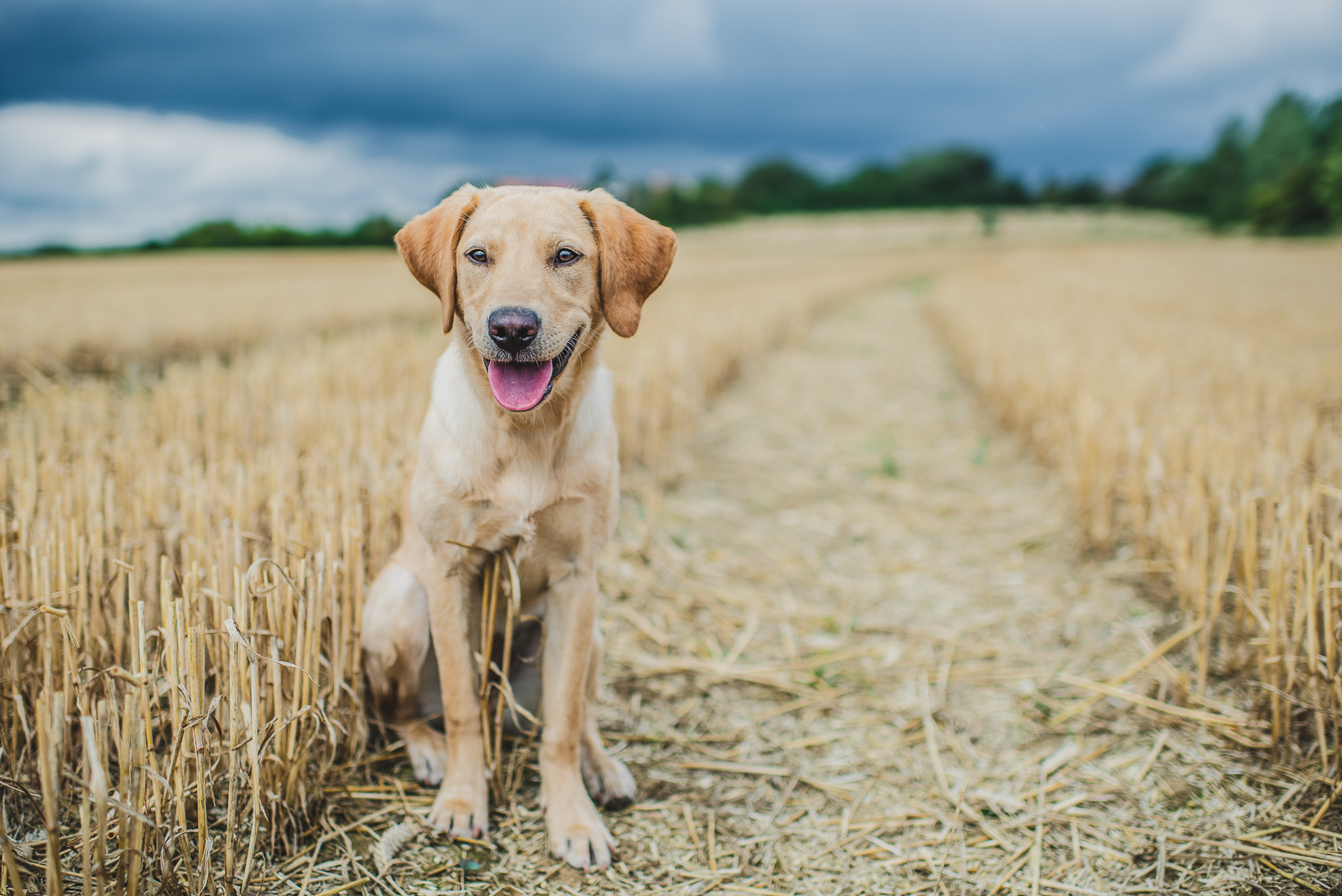 Yellow Labrador sitting on a path in a field