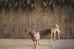 Border terrier and labrador