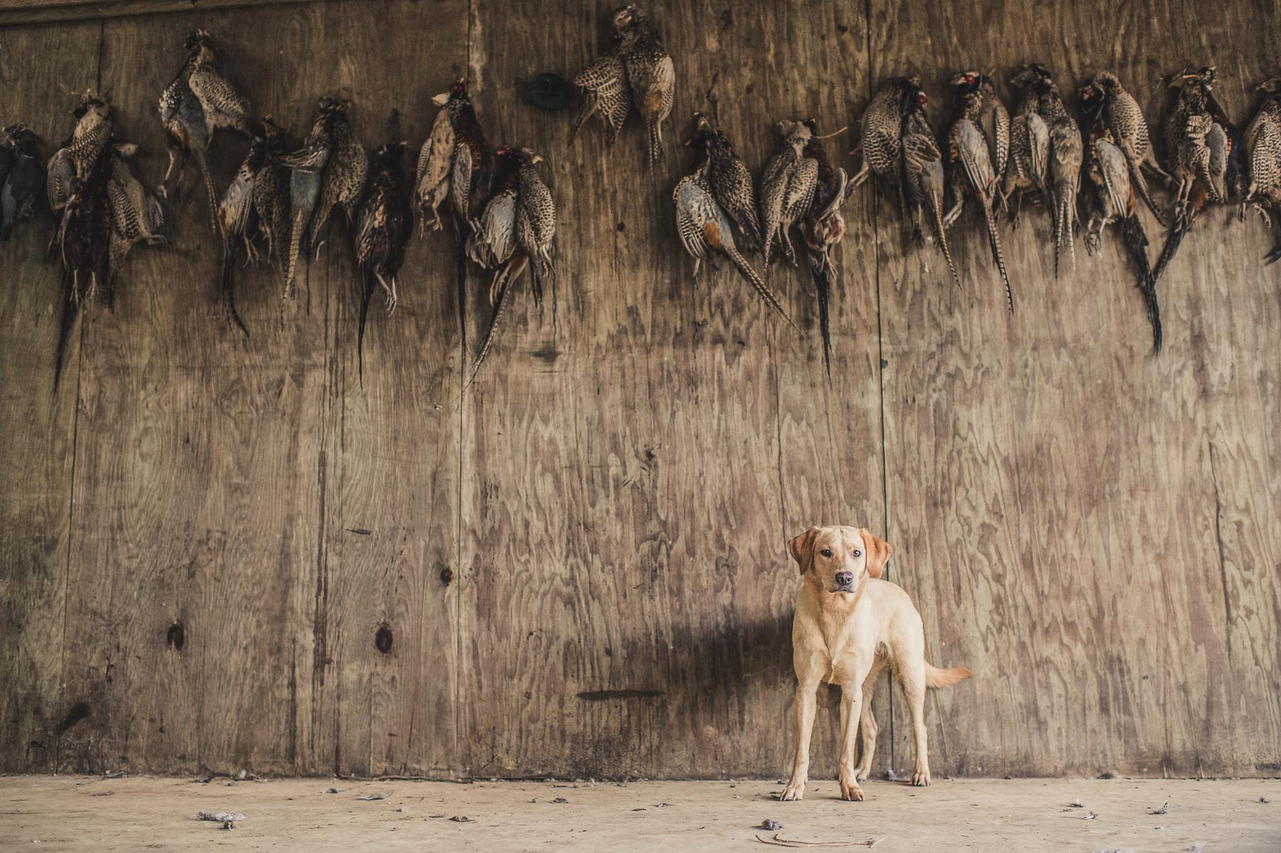 Yellow Labrador with Pheasants