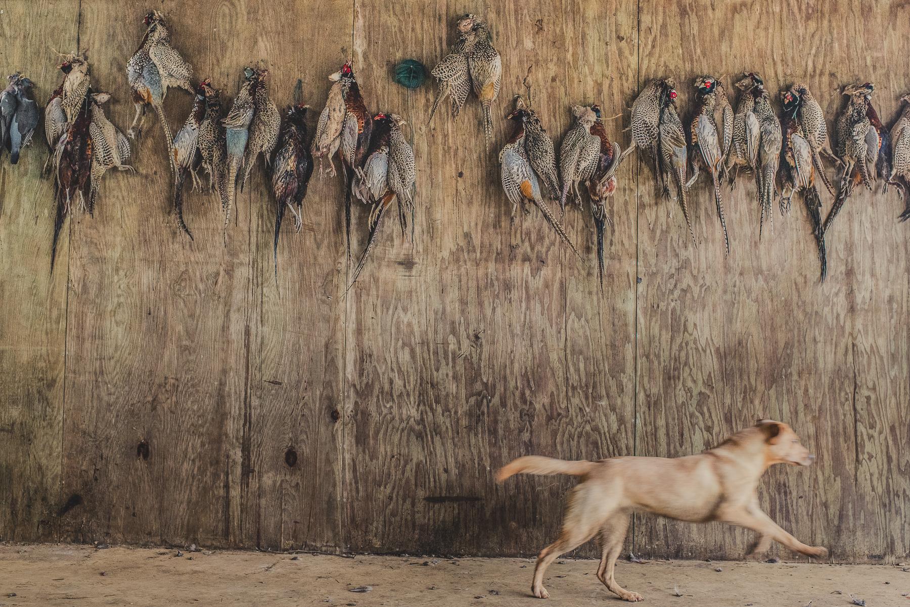 Yellow labrador running past pheasants