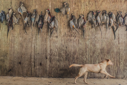 Yellow labrador running past pheasants