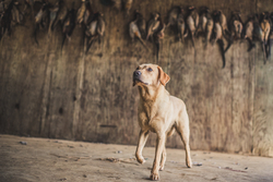 Yellow Labrador standing in barn under braces of pheasants