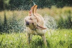 Yellow Labrador shaking off water