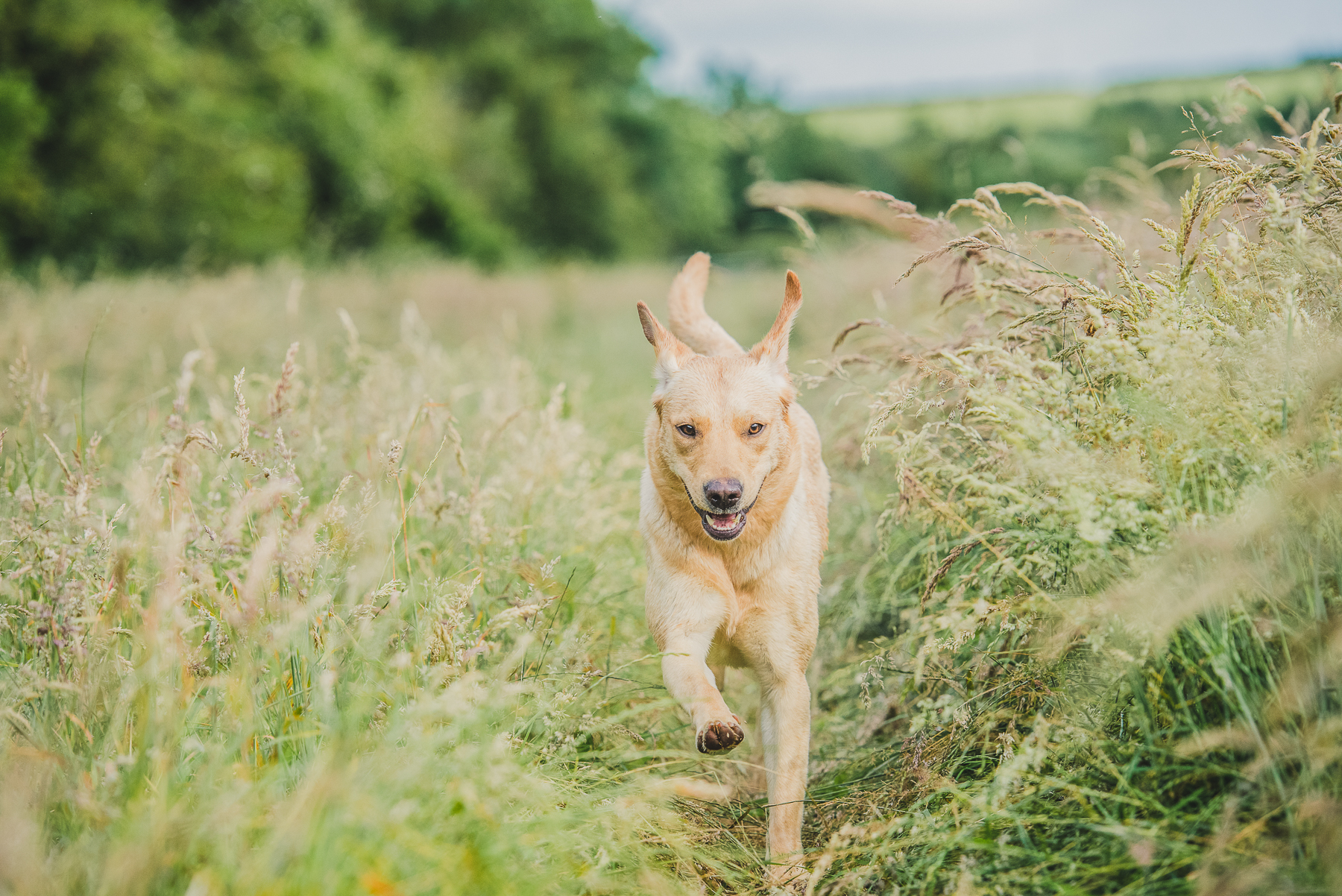 Yellow Labrador running through field