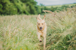 Yellow Labrador running through field