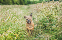 Border terrier running through field