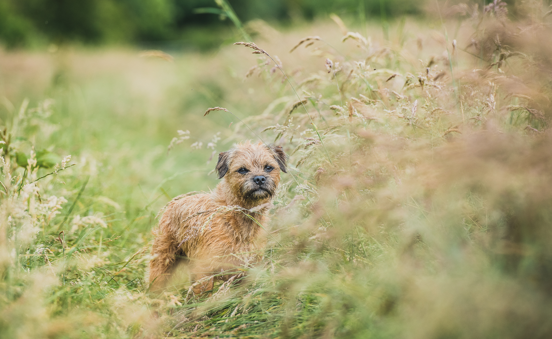 Border terrier standing in field